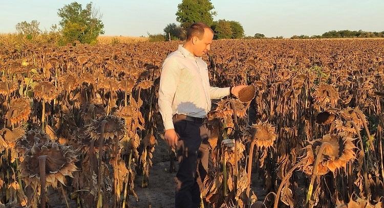 Jól halad a napraforgó betakarítás Fejér megyében